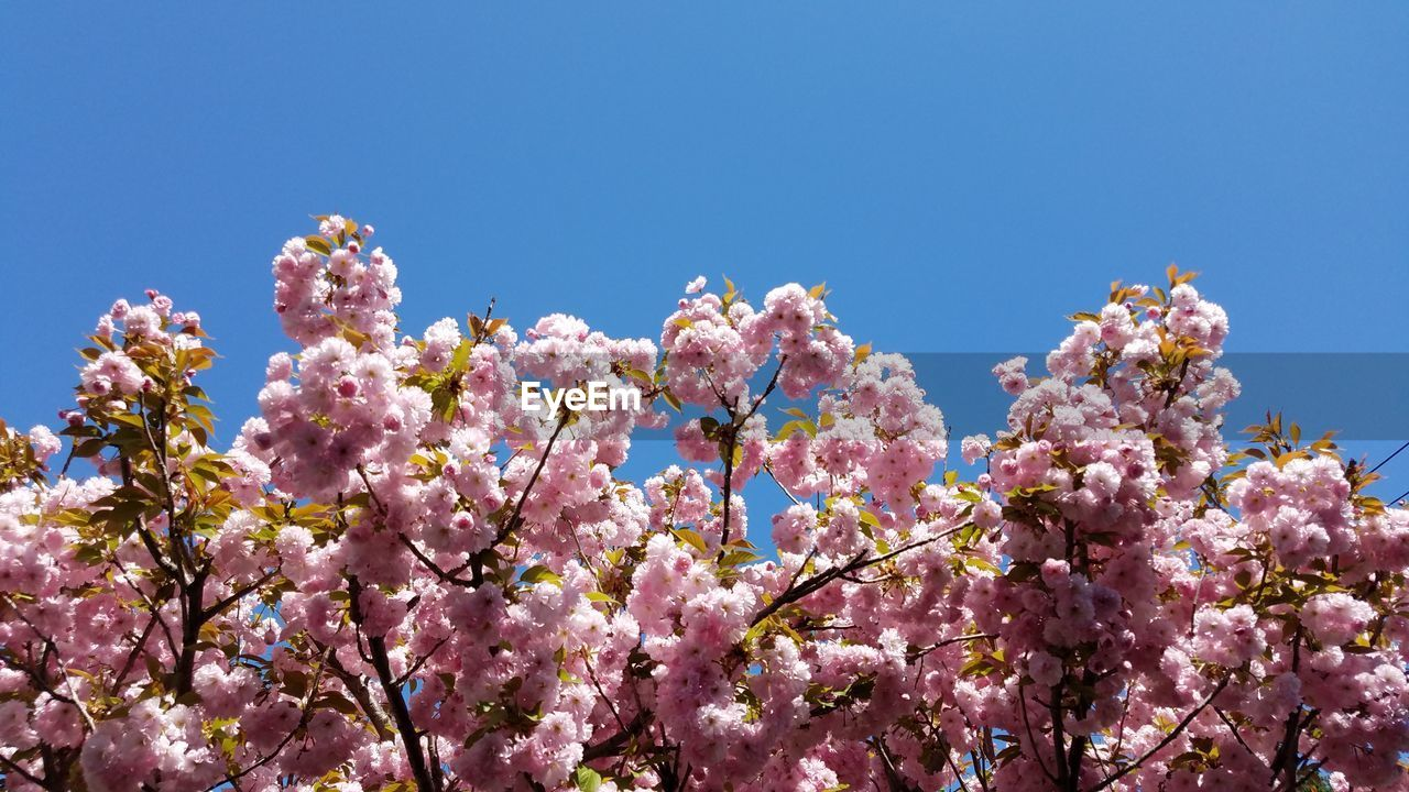 flower, plant, flowering plant, growth, fragility, low angle view, beauty in nature, pink color, blossom, clear sky, nature, freshness, vulnerability, tree, springtime, sky, cherry blossom, branch, no people, day, cherry tree, outdoors, lilac, spring