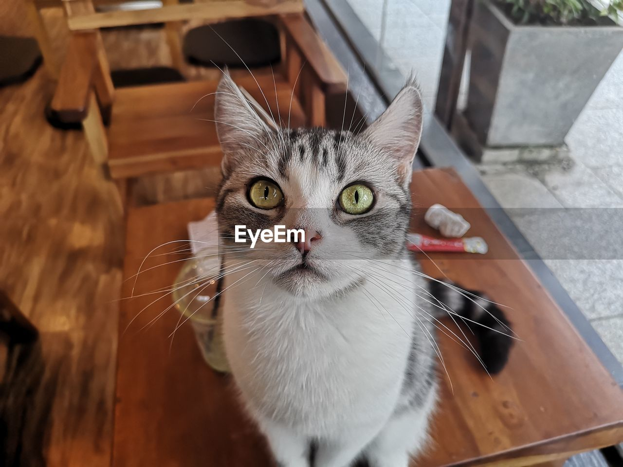 domestic cat, pets, cat, domestic animals, feline, domestic, mammal, one animal, vertebrate, looking at camera, portrait, whisker, high angle view, no people, focus on foreground, close-up, day, animal eye, yellow eyes, tabby