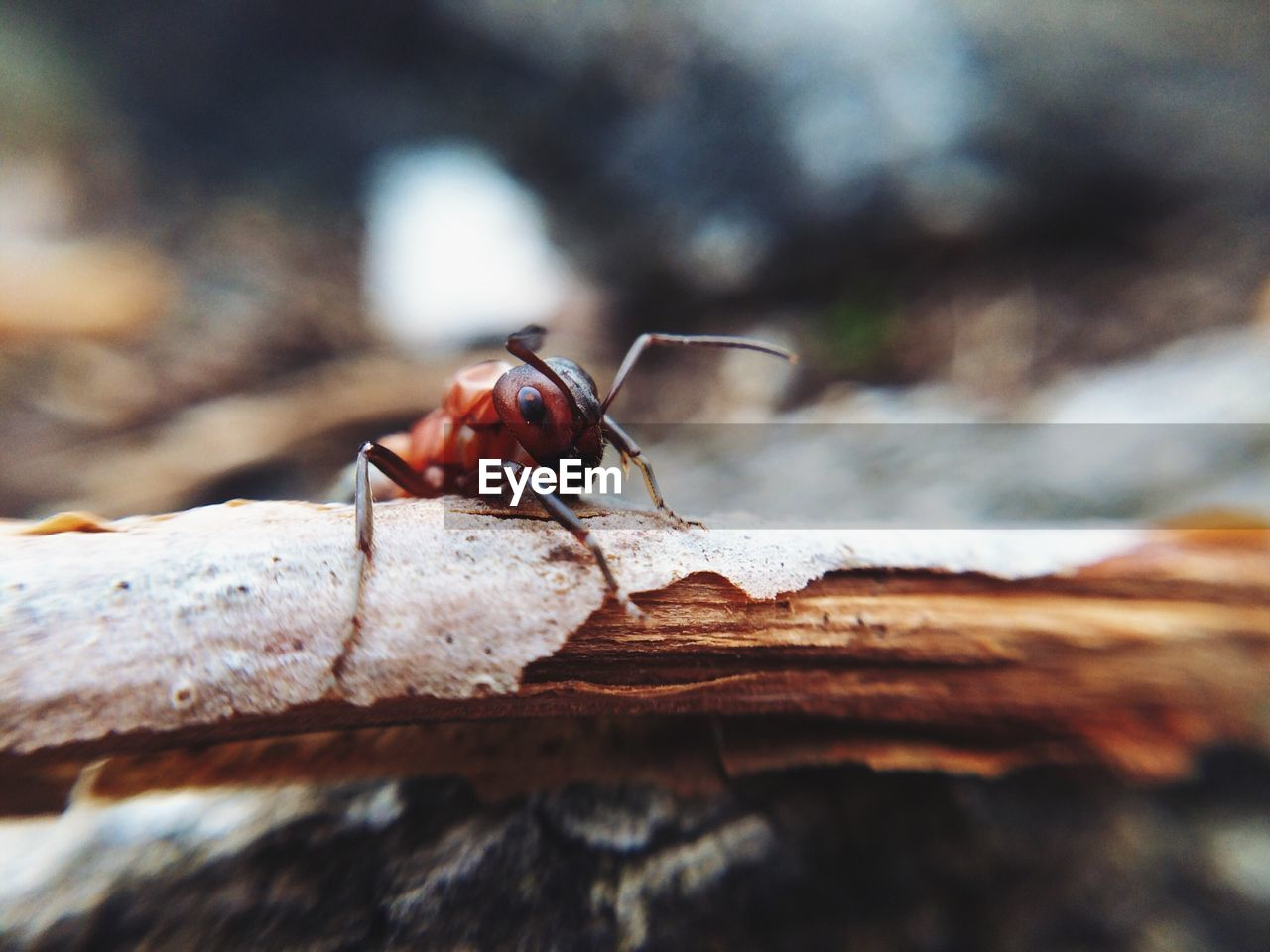 Close-Up Of Fire Ant On Wood