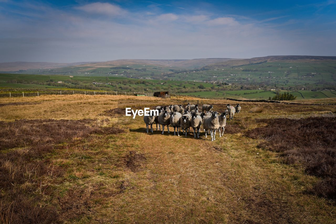 mammal, landscape, domestic animals, animal, group of animals, environment, livestock, animal themes, domestic, grass, field, pets, vertebrate, sky, land, nature, large group of animals, plant, sheep, animal wildlife, herd, no people, herbivorous, outdoors
