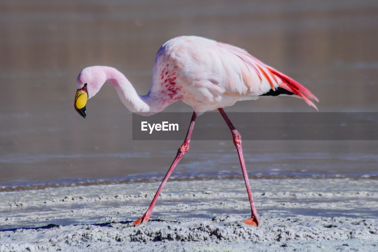 bird, animals in the wild, animal themes, animal wildlife, animal, vertebrate, one animal, focus on foreground, day, nature, winter, no people, white color, water, snow, cold temperature, land, beauty in nature, flamingo, beak, freshwater bird