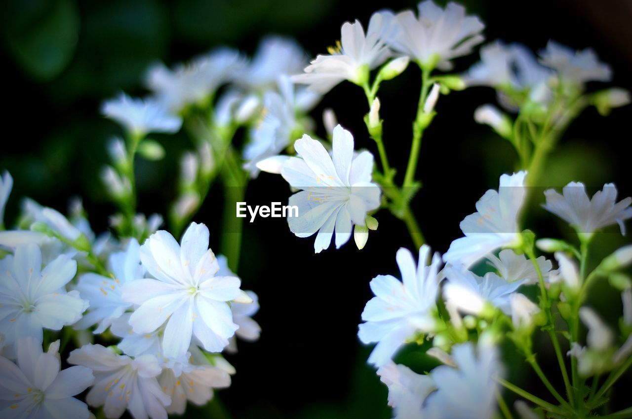 flowering plant, flower, vulnerability, fragility, plant, beauty in nature, freshness, growth, petal, close-up, flower head, inflorescence, white color, selective focus, nature, no people, day, outdoors, botany, focus on foreground