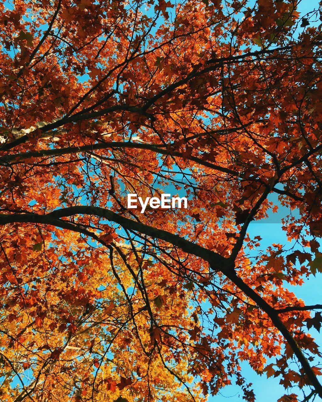 Low angle view of maple tree against sky during autumn