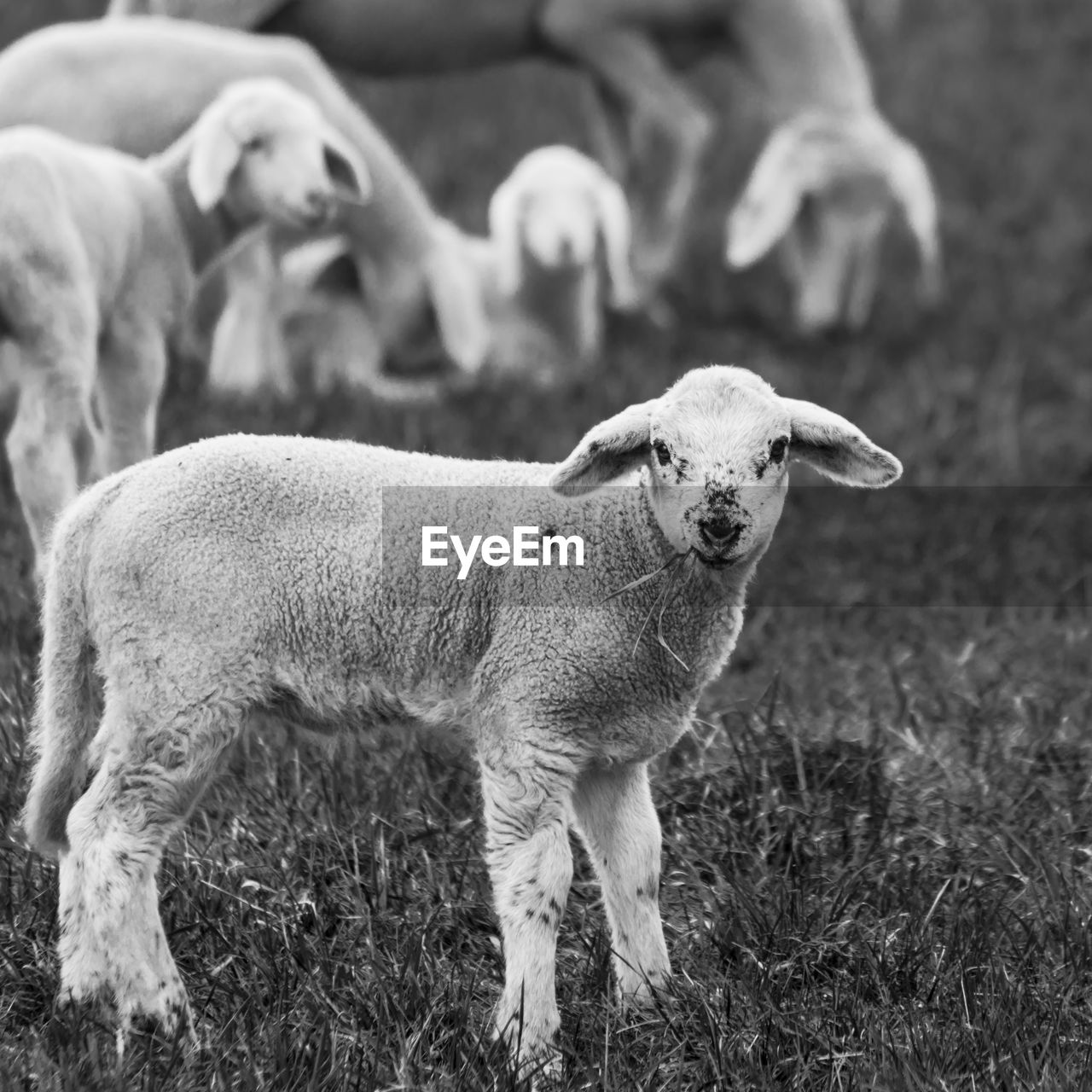 animal themes, mammal, animal, domestic animals, domestic, pets, livestock, vertebrate, sheep, group of animals, grass, focus on foreground, field, land, standing, young animal, lamb, plant, no people, day, herbivorous