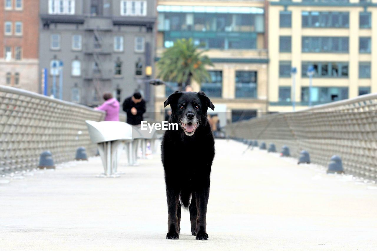 mammal, one animal, pets, domestic animals, domestic, dog, canine, vertebrate, architecture, built structure, focus on foreground, looking at camera, portrait, black color, city, building exterior, people, nature