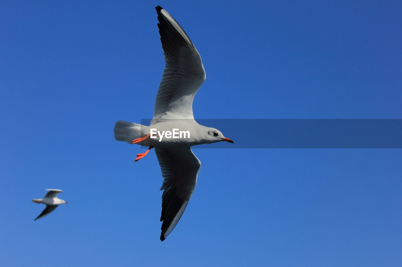bird, animals in the wild, animal wildlife, flying, spread wings, animal themes, vertebrate, animal, sky, mid-air, low angle view, blue, no people, clear sky, one animal, nature, day, copy space, seagull, motion, outdoors