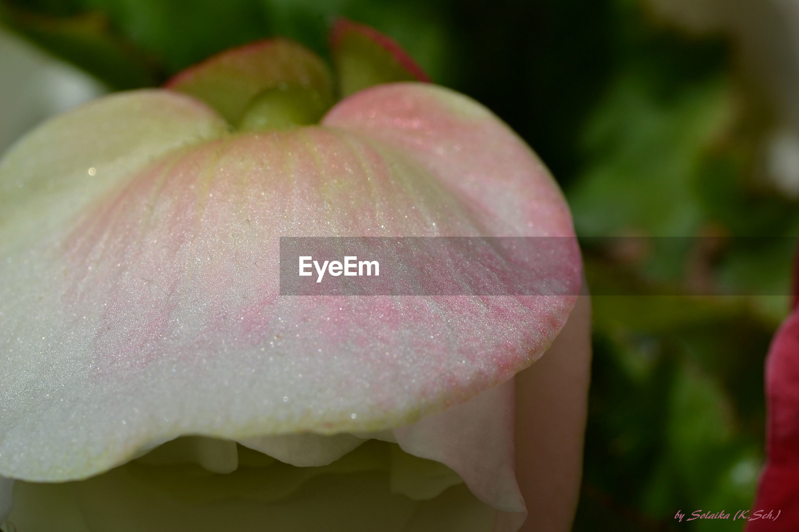 freshness, drop, flower, water, fragility, close-up, wet, petal, beauty in nature, growth, pink color, flower head, focus on foreground, nature, dew, plant, single flower, outdoors, selective focus, blooming