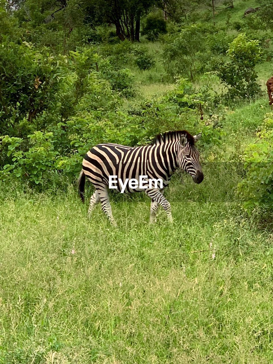 animal themes, animal, animal wildlife, animals in the wild, plant, mammal, grass, zebra, striped, land, one animal, nature, field, vertebrate, safari, no people, green color, animal markings, tree, outdoors, herbivorous