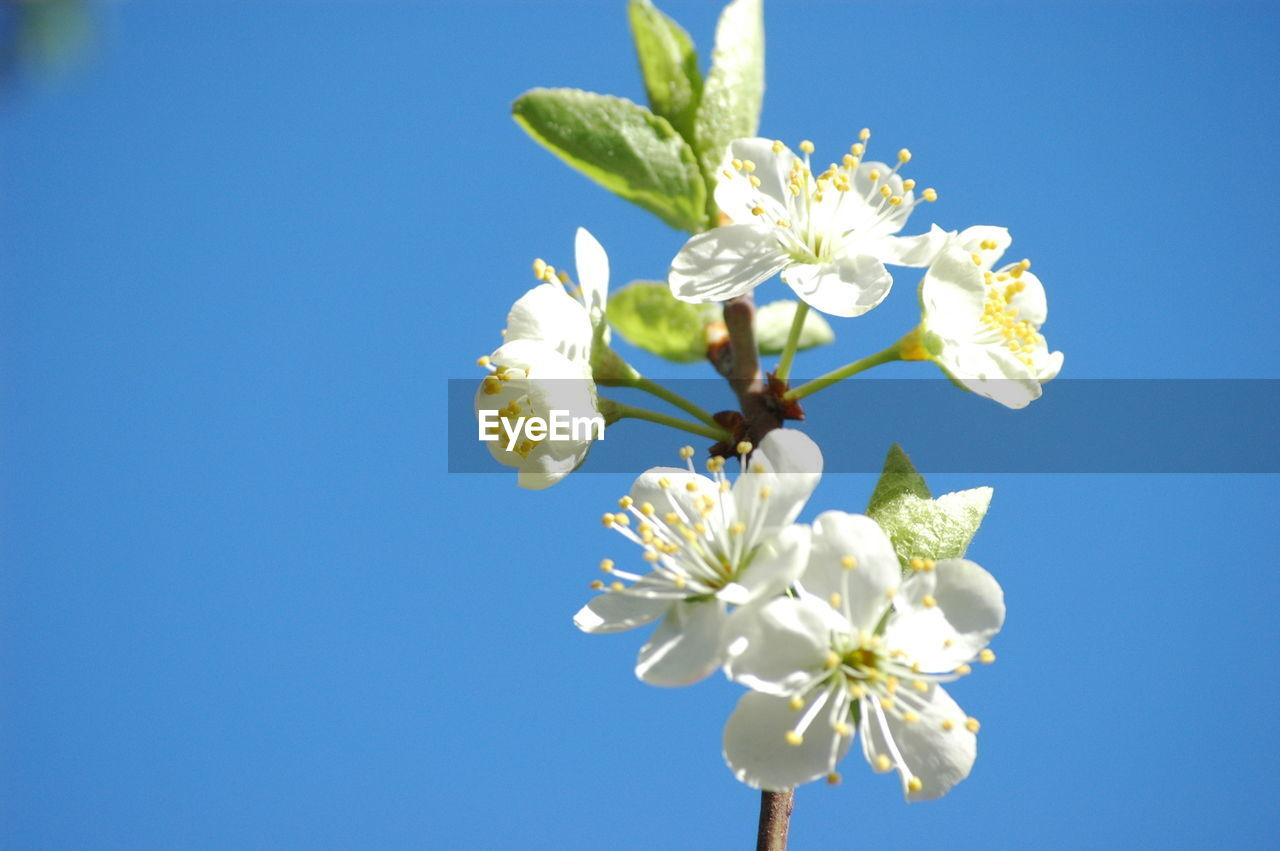 Low angle view of cherry blossoms on branch against clear blue sky