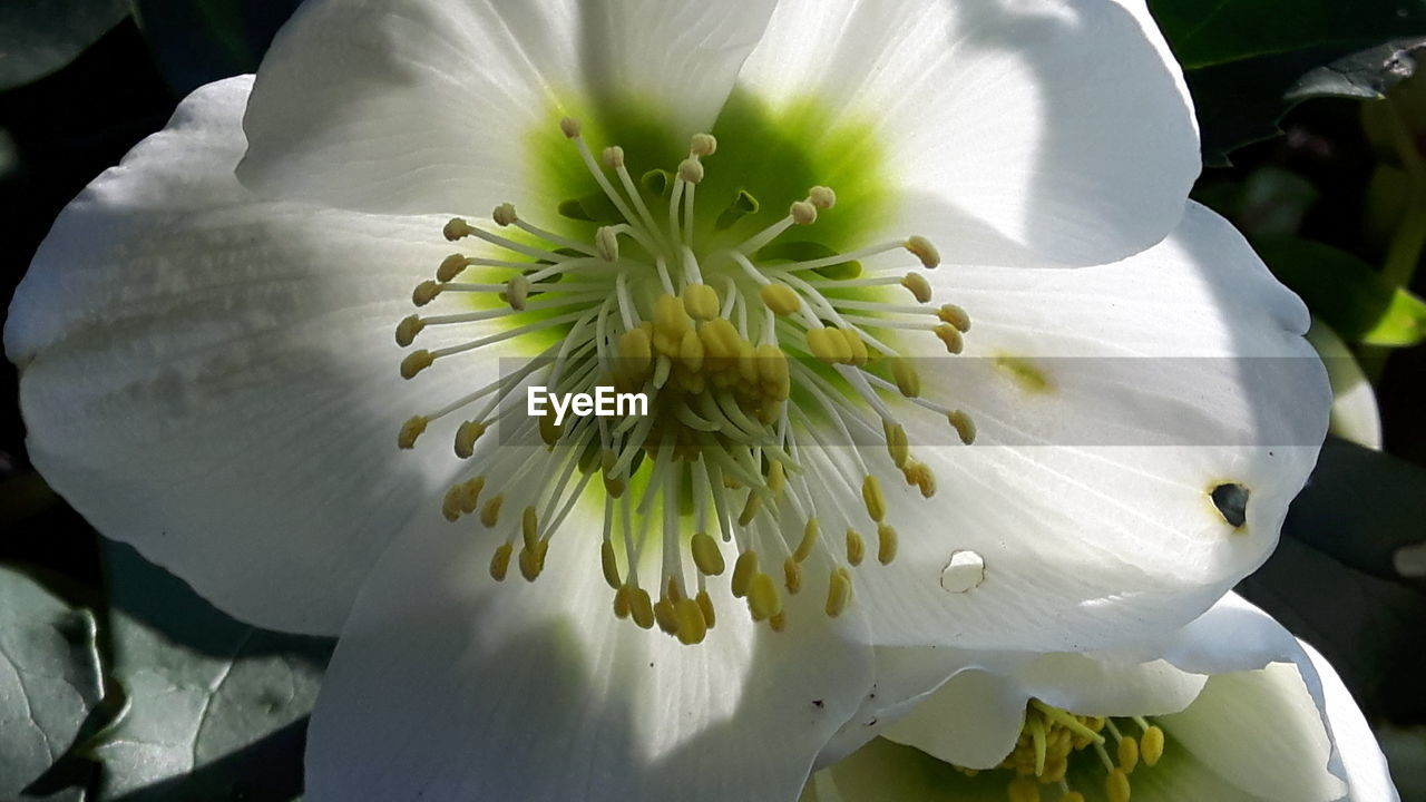 flower, petal, flower head, beauty in nature, fragility, freshness, white color, nature, growth, close-up, day, stamen, no people, pollen, blooming, outdoors, plant, passion flower