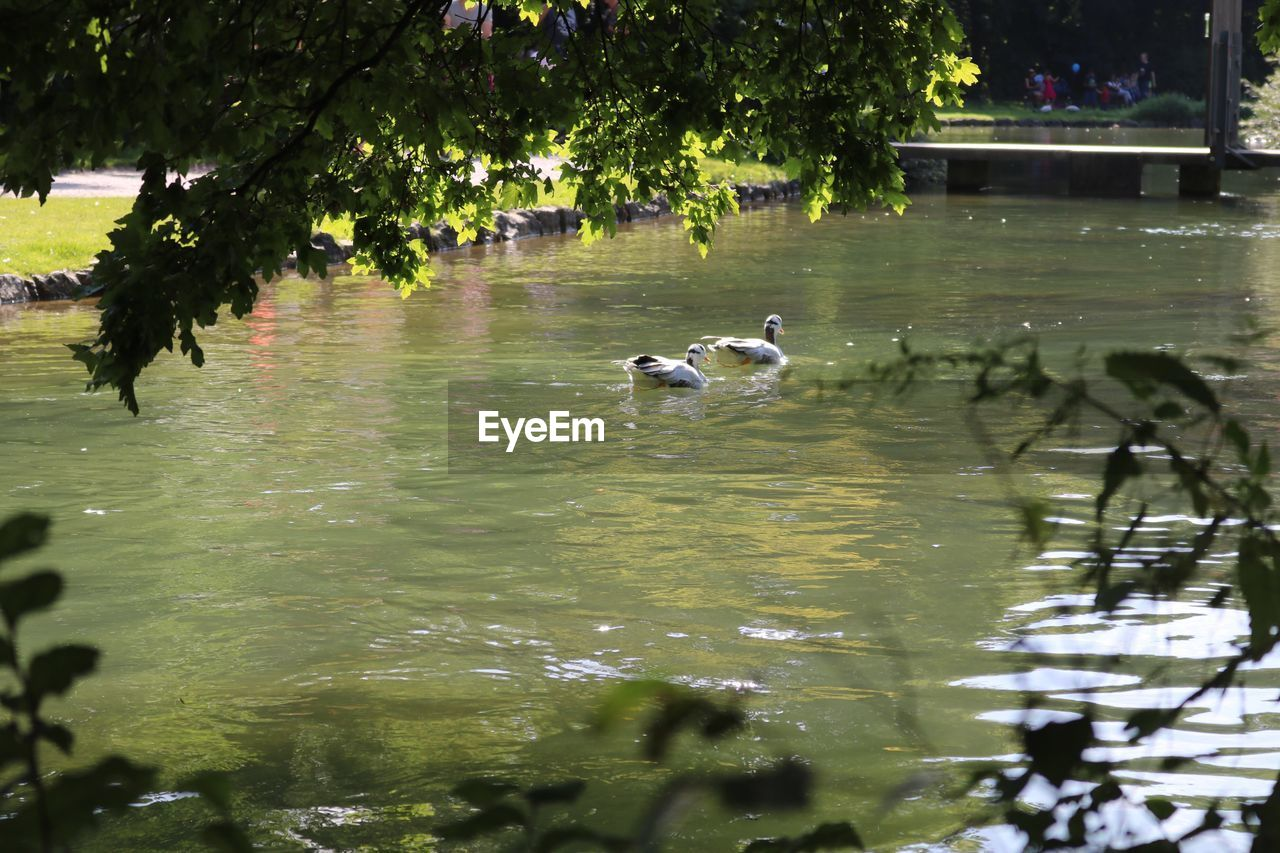 water, animals in the wild, vertebrate, animal wildlife, lake, bird, group of animals, animal, animal themes, tree, plant, nature, swimming, no people, reflection, day, duck, poultry, waterfront, floating on water, animal family, gosling