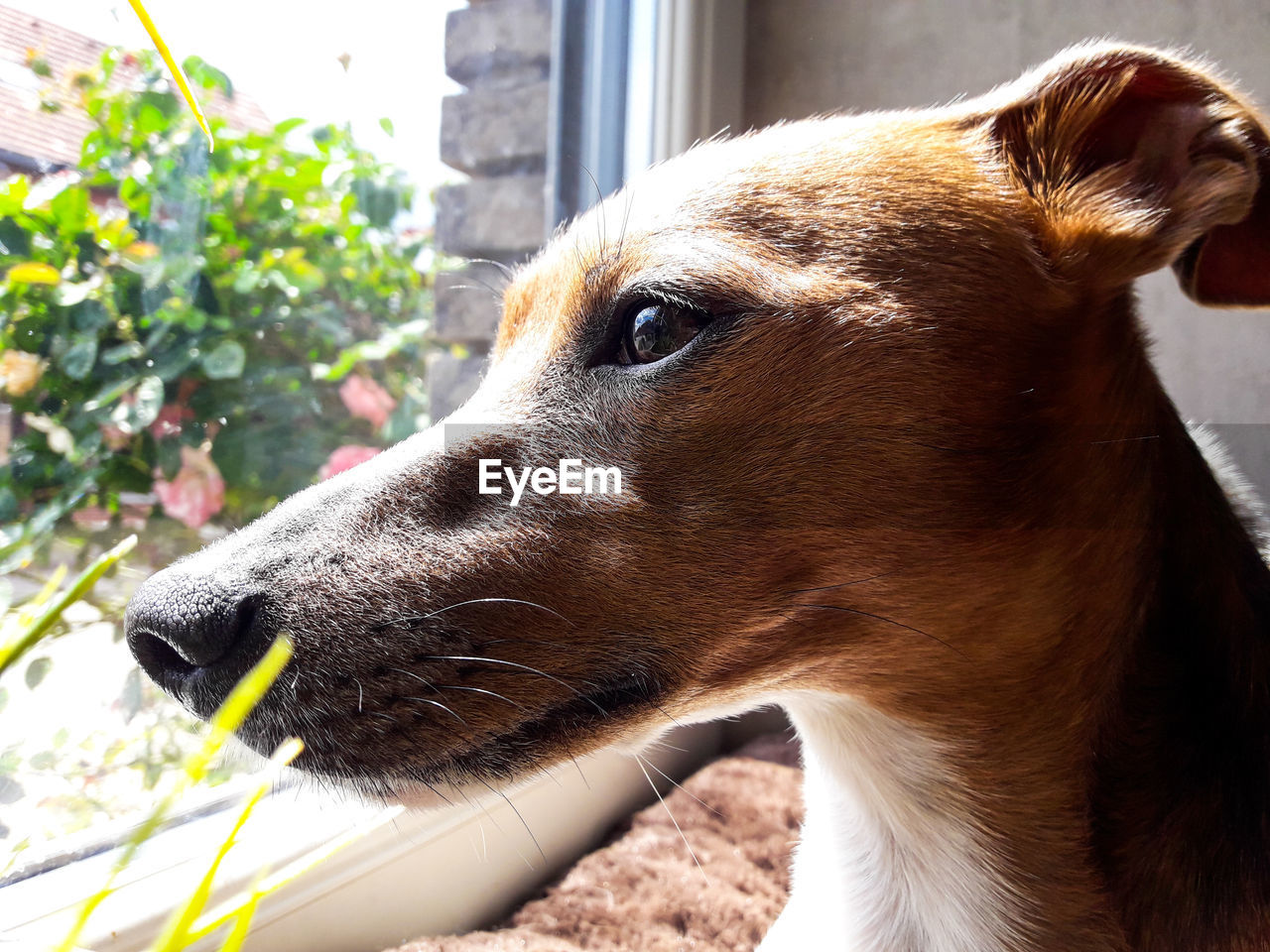 one animal, animal themes, animal, mammal, domestic animals, canine, dog, vertebrate, pets, domestic, close-up, looking, looking away, animal body part, day, animal head, no people, outdoors, brown, side view, profile view, jack russell terrier, snout, whisker