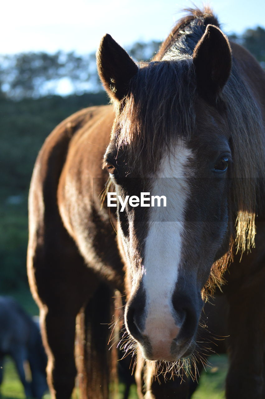 animal, mammal, animal themes, domestic animals, domestic, pets, livestock, vertebrate, one animal, focus on foreground, animal wildlife, close-up, animal body part, animal head, horse, day, no people, herbivorous, cattle, domestic cattle, outdoors, snout, animal nose, animal mouth