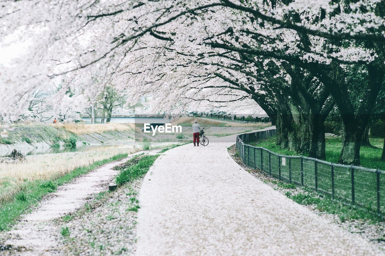 Person Standing On Footpath By Cherry Trees