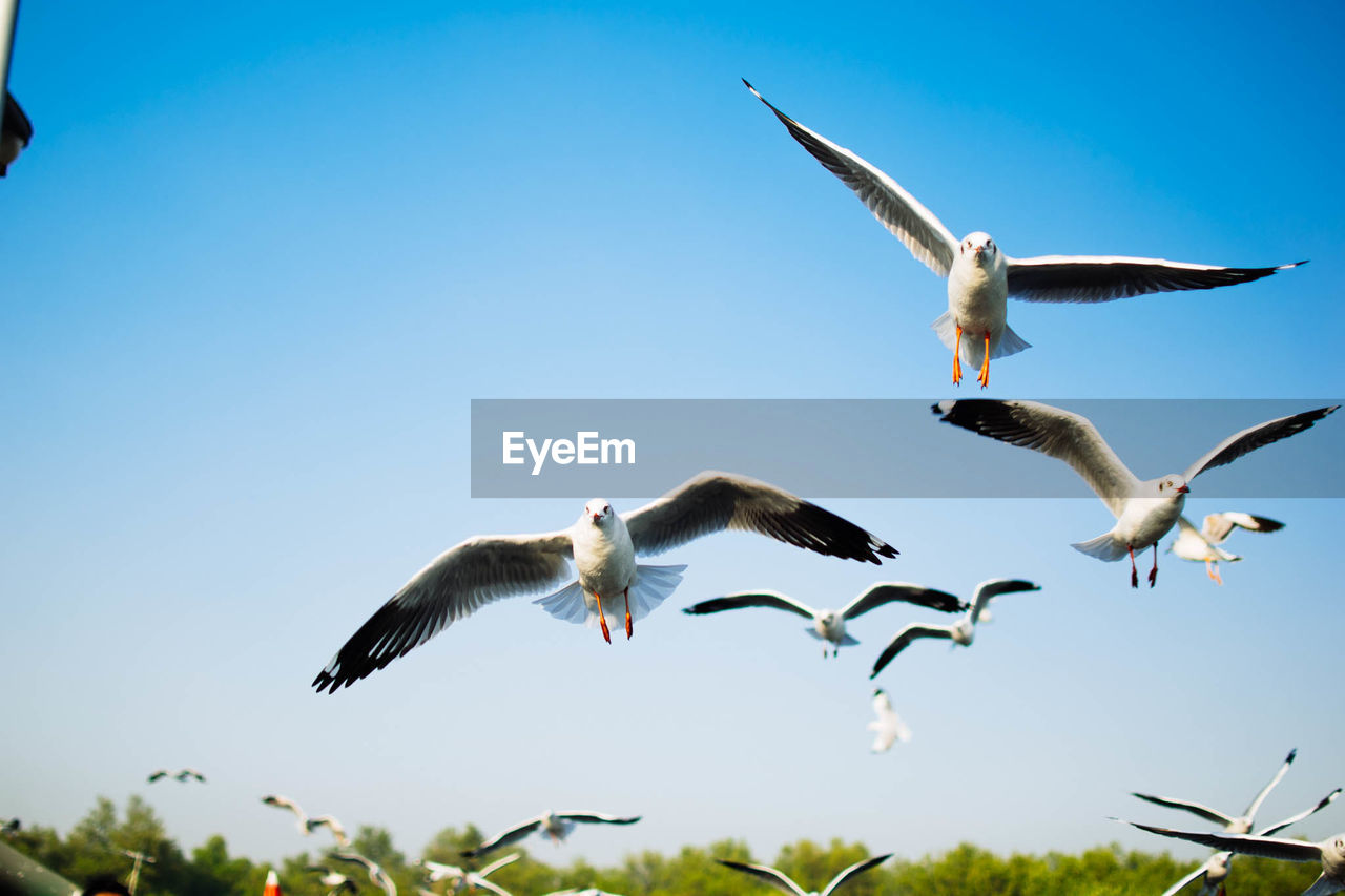 flying, animals in the wild, animal wildlife, bird, animal themes, spread wings, animal, vertebrate, group of animals, sky, mid-air, nature, low angle view, no people, clear sky, motion, day, seagull, blue, outdoors, flapping, flock of birds