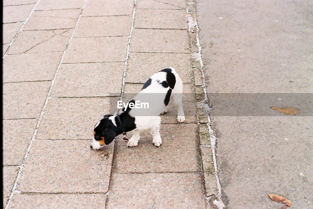 Top view of a dog with black and white fur