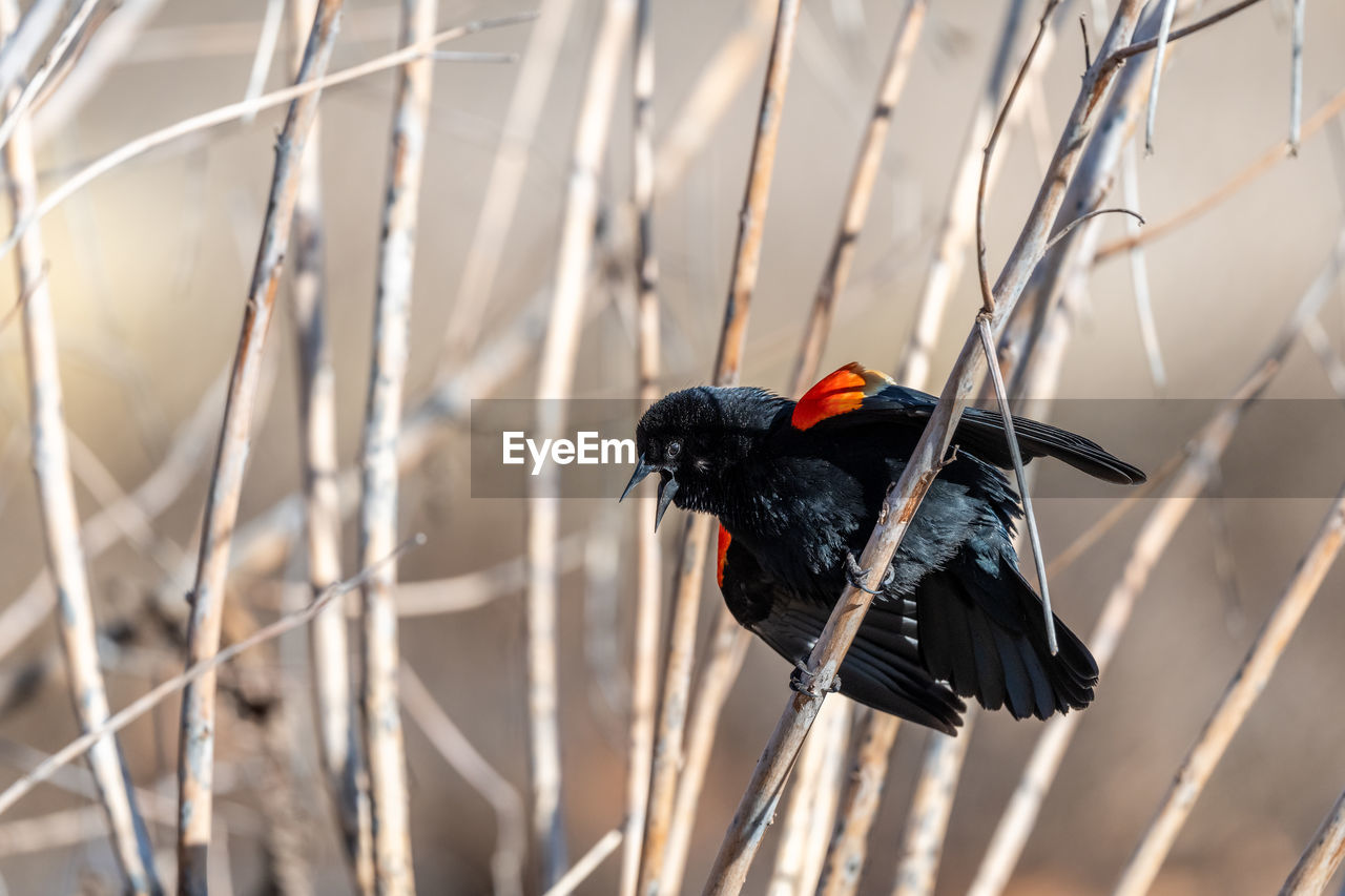 animal themes, animal, animal wildlife, bird, vertebrate, animals in the wild, one animal, black color, no people, day, focus on foreground, plant, nature, outdoors, perching, selective focus, close-up, branch, blackbird, tree