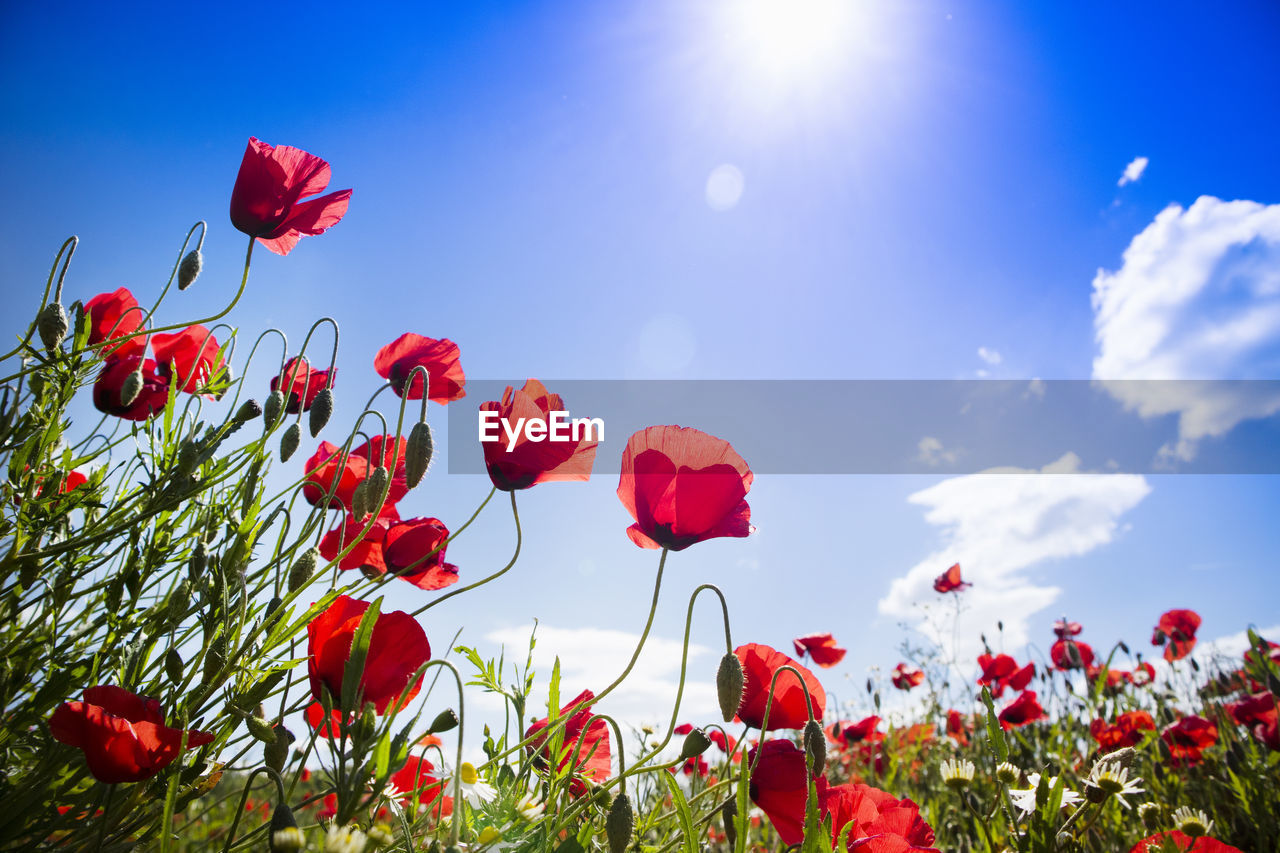 red, plant, flower, beauty in nature, flowering plant, sky, petal, growth, nature, vulnerability, freshness, poppy, fragility, flower head, close-up, inflorescence, land, no people, sunlight, day, outdoors, flowerbed