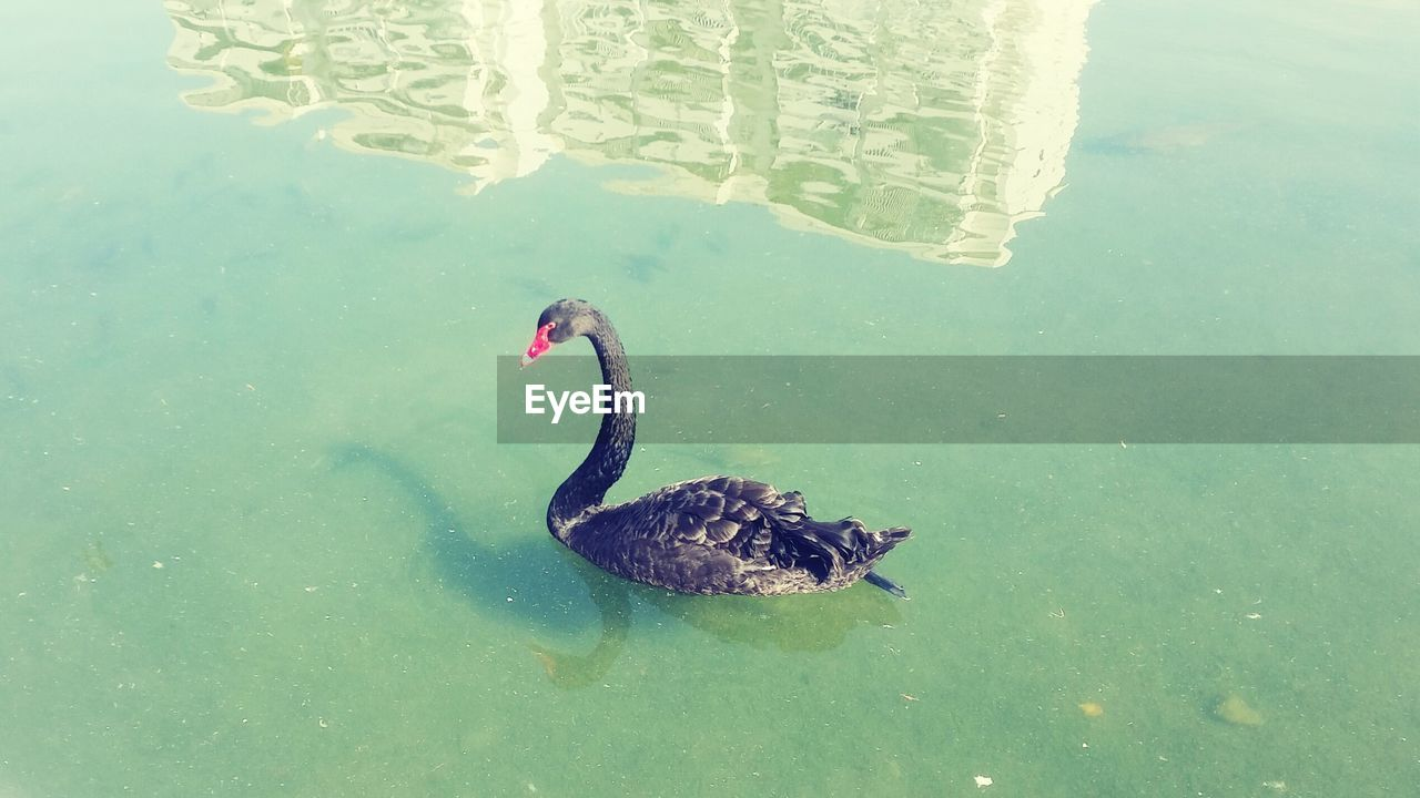 water, animal themes, swimming, animals in the wild, lake, one animal, high angle view, waterfront, black swan, animal wildlife, day, no people, nature, reflection, outdoors, swan, bird, beauty in nature
