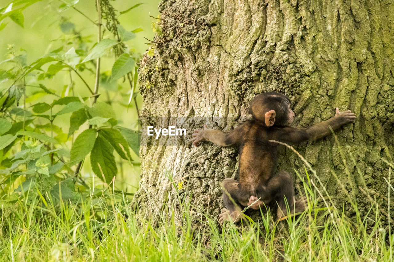 Young monkey climbing tree
