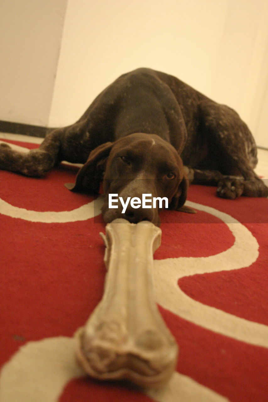 CLOSE-UP OF BROWN DOG AT HOME