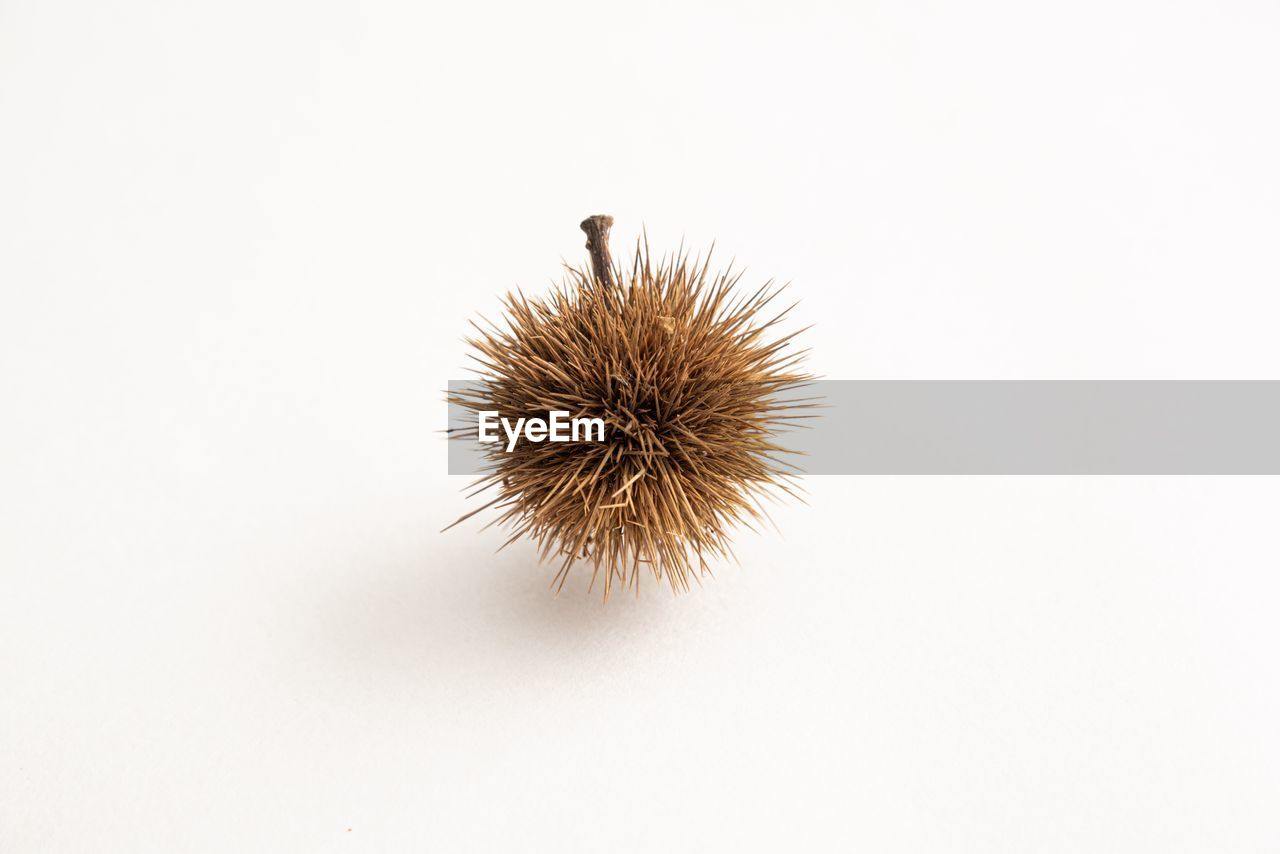 copy space, studio shot, white background, no people, indoors, close-up, spiked, chestnut - food, brown, nature, food and drink, dry, still life, freshness, plant, cut out, food, spiky, single object