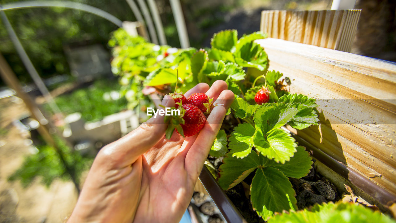 Close-up of hand holding strawberries growing in window box