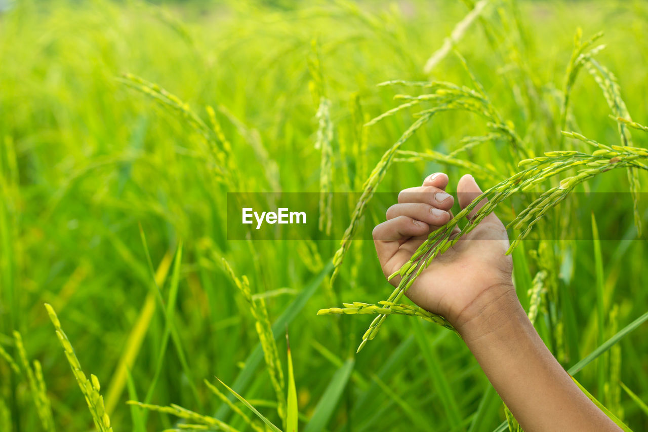 Close-Up Of Hand Touching Rice On Field