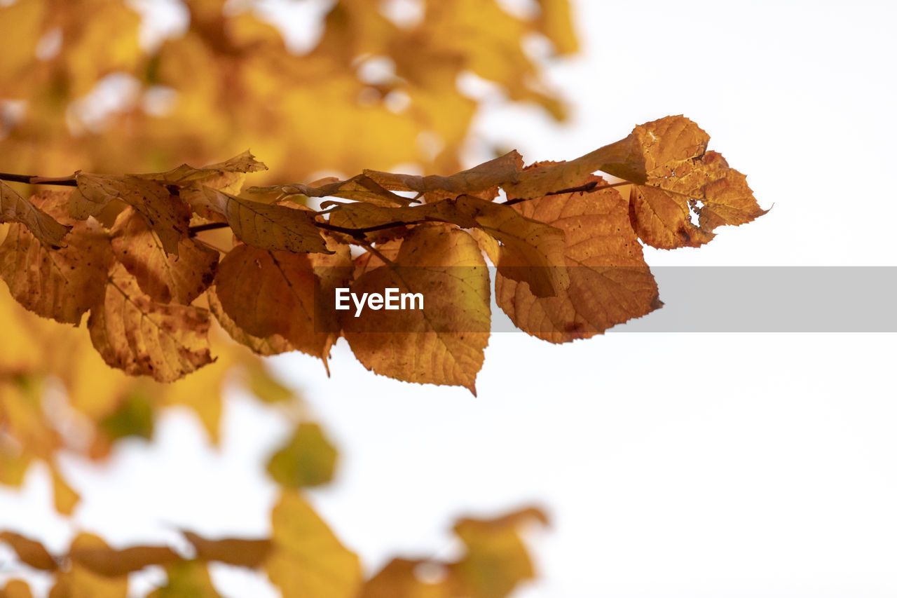 plant part, leaf, autumn, change, close-up, leaves, vulnerability, nature, dry, plant, focus on foreground, fragility, brown, beauty in nature, no people, tree, day, white background, orange color, selective focus, natural condition, maple leaf, autumn collection, wilted plant, fall