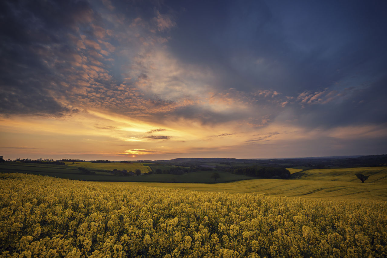 beauty in nature, scenics - nature, tranquil scene, sky, landscape, field, sunset, tranquility, environment, yellow, cloud - sky, land, growth, flower, rural scene, agriculture, plant, idyllic, nature, no people, outdoors