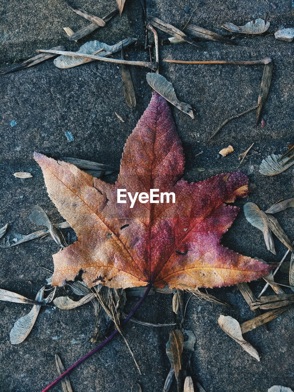 leaf, plant part, dry, autumn, change, close-up, high angle view, falling, no people, nature, day, directly above, maple leaf, outdoors, leaf vein, plant, vulnerability, fragility, leaves, still life, natural condition, fall