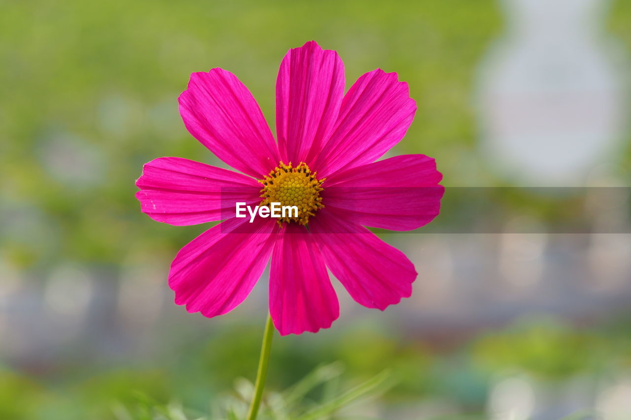 flowering plant, flower, freshness, pink color, plant, fragility, flower head, vulnerability, inflorescence, petal, close-up, focus on foreground, growth, beauty in nature, pollen, day, no people, nature, cosmos flower