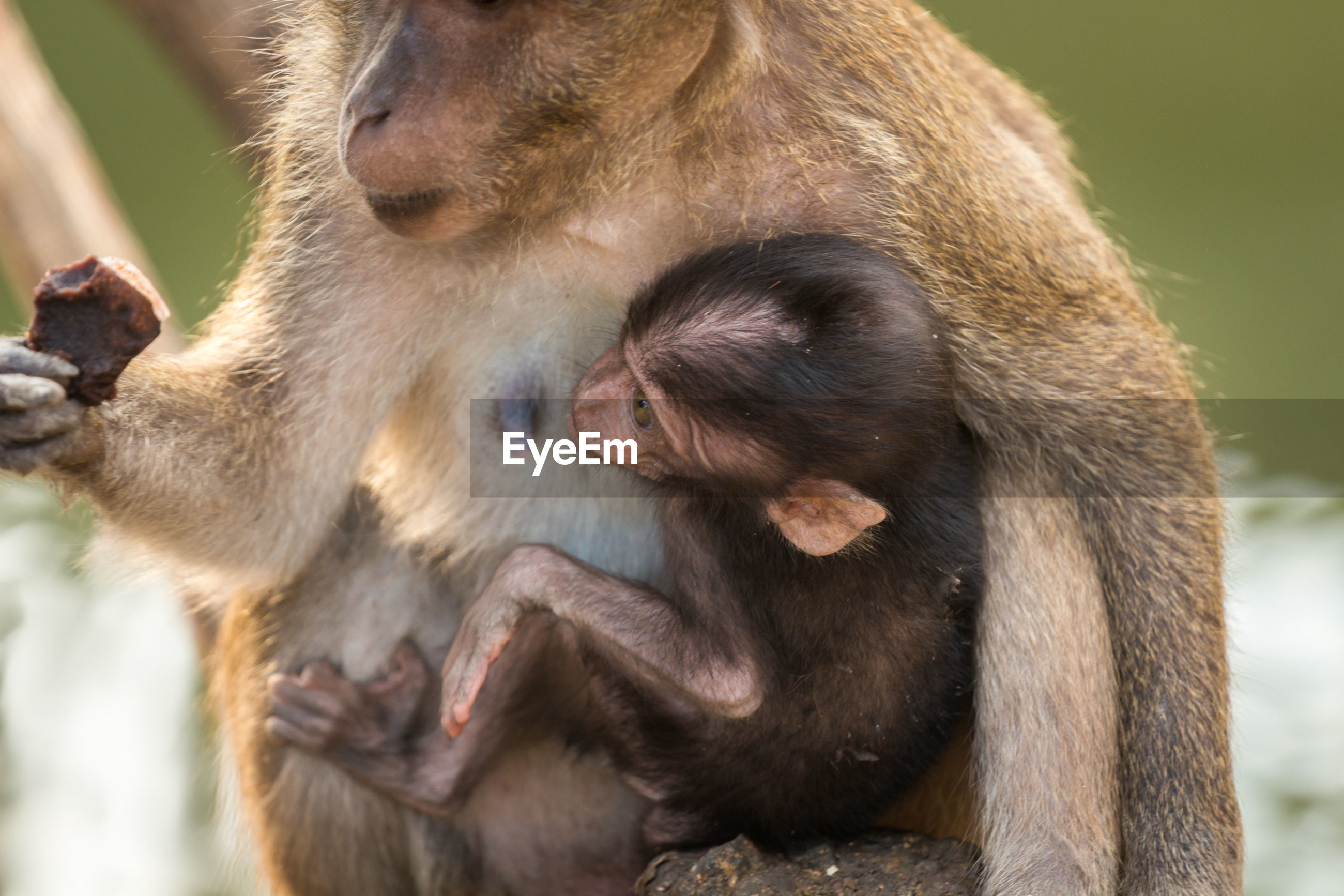 Close-up of long-tailed macaque with infant in zoo