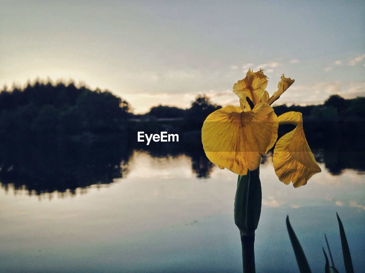 Close-up of yellow flower blooming by lake during sunset