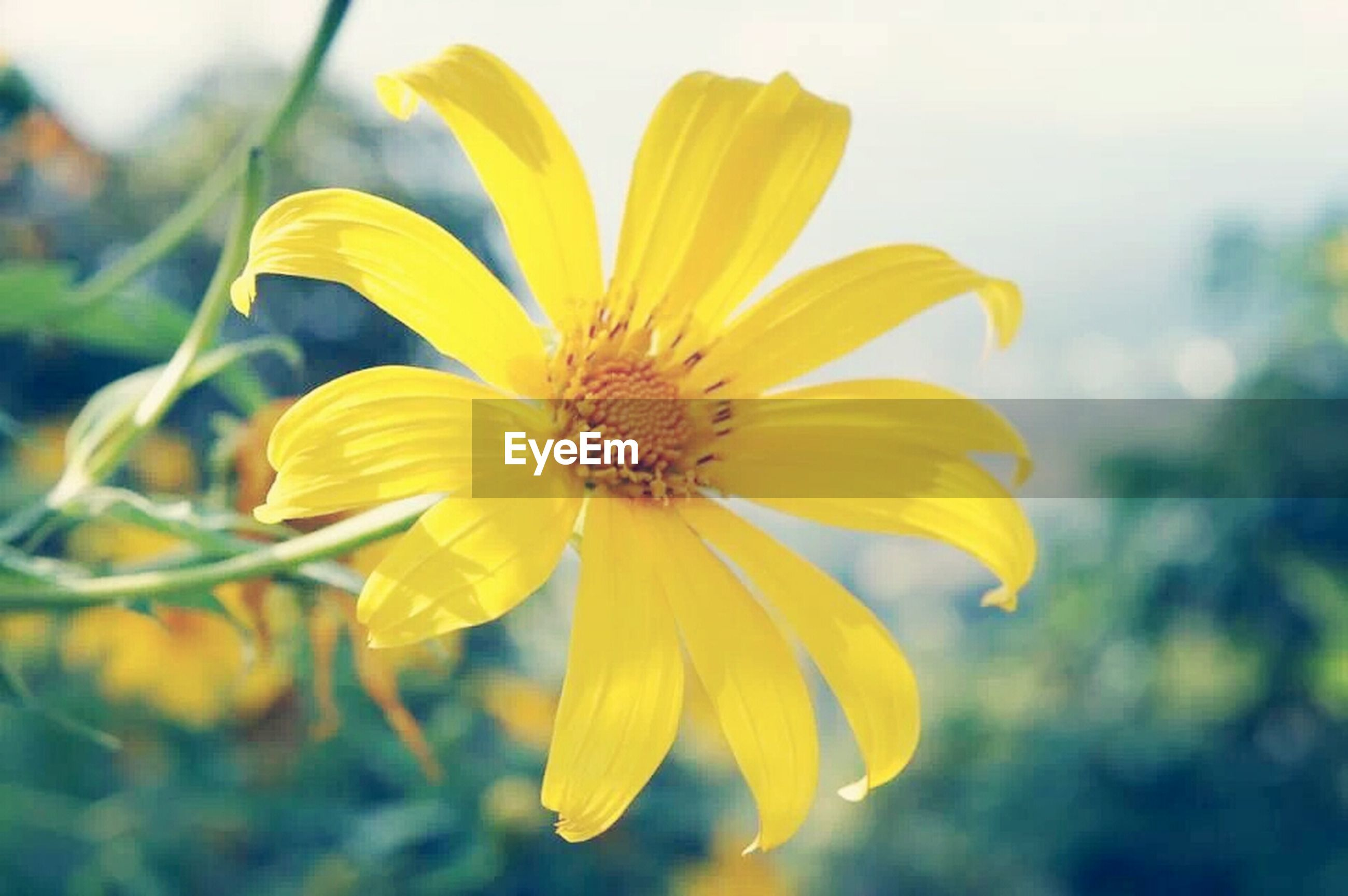 flower, petal, yellow, freshness, flower head, fragility, growth, close-up, focus on foreground, beauty in nature, single flower, pollen, blooming, nature, plant, in bloom, stamen, blossom, outdoors, day