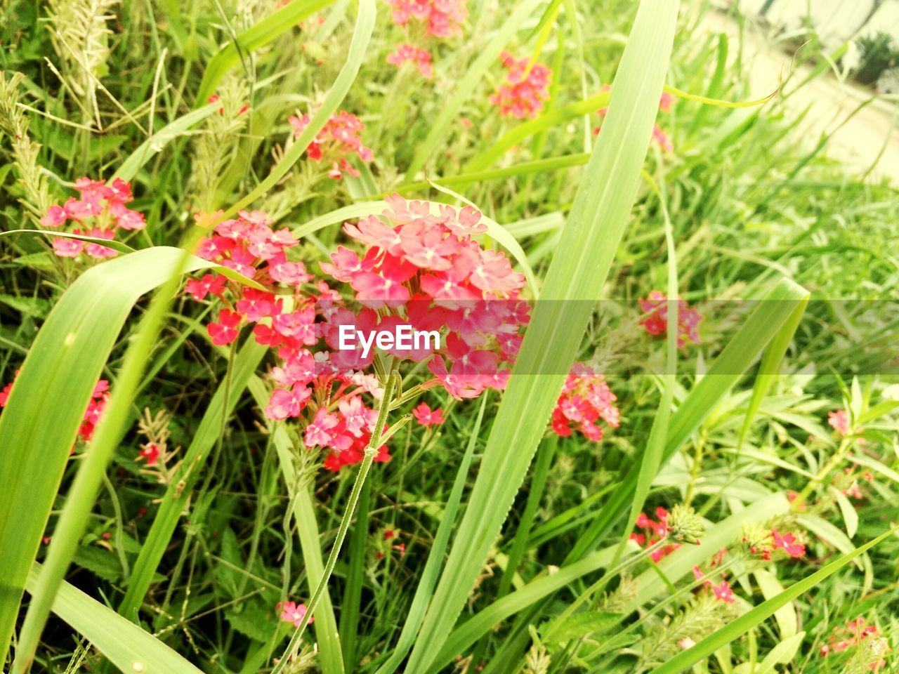 grass, flower, green color, growth, nature, day, plant, outdoors, freshness, no people, red, beauty in nature, leaf, fragility, close-up, flower head