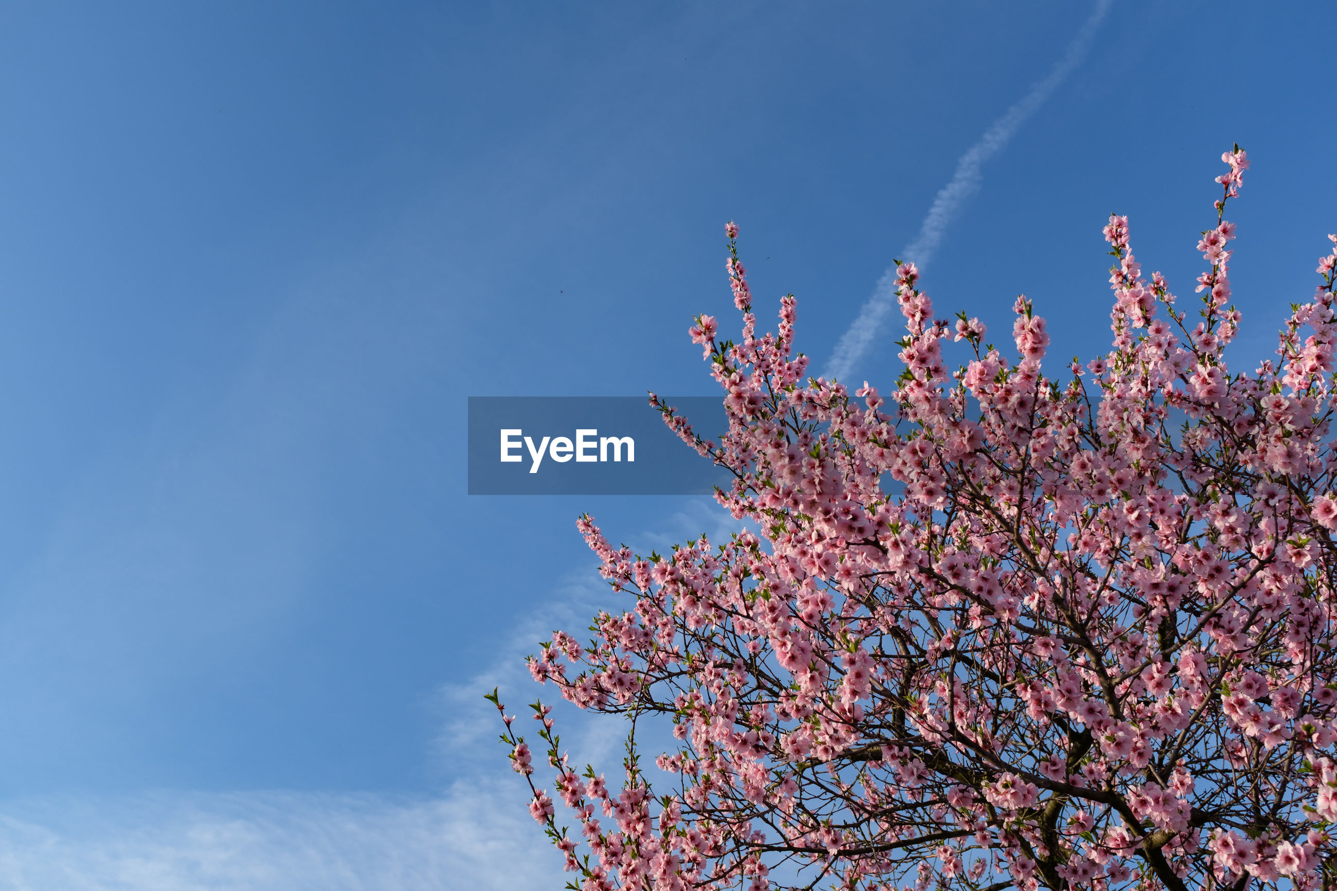 LOW ANGLE VIEW OF FLOWERS ON TREE AGAINST BLUE SKY