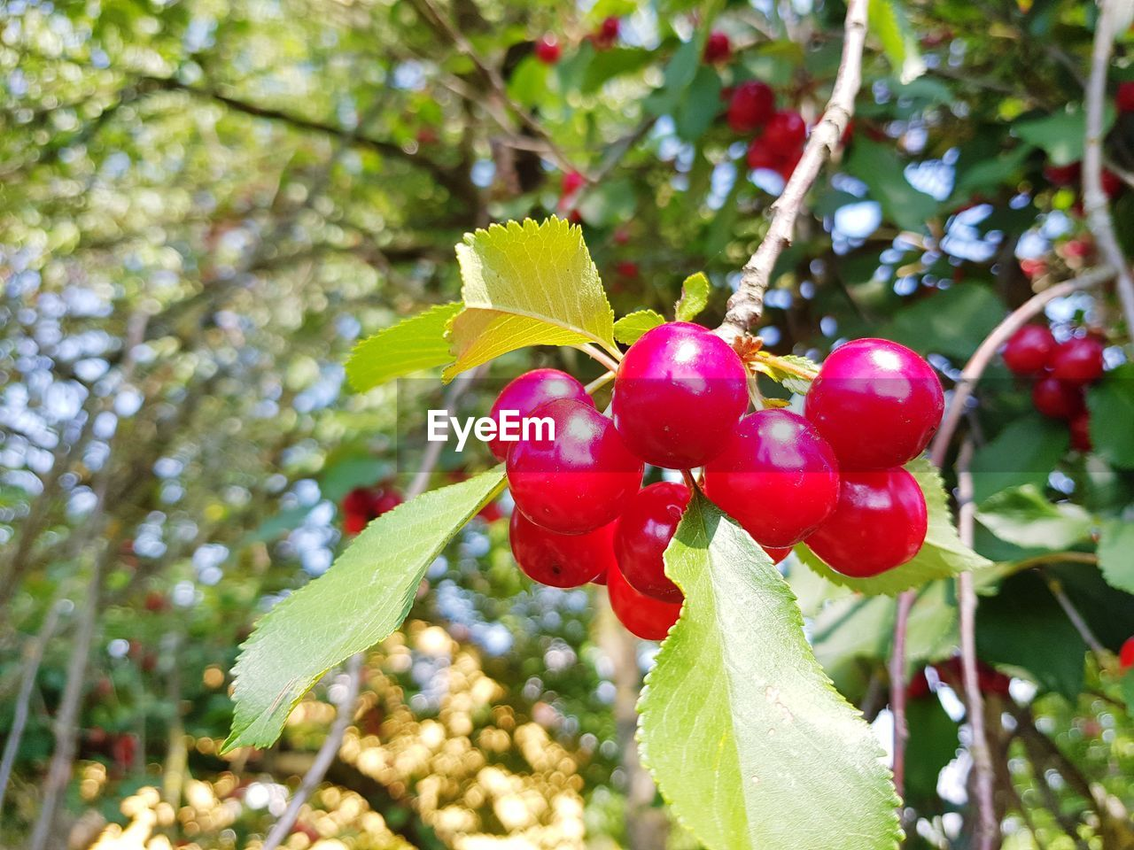 plant, growth, leaf, tree, food, food and drink, plant part, red, fruit, freshness, healthy eating, focus on foreground, nature, beauty in nature, close-up, green color, day, no people, branch, wellbeing, outdoors, ripe, cherry tree, red currant, rowanberry