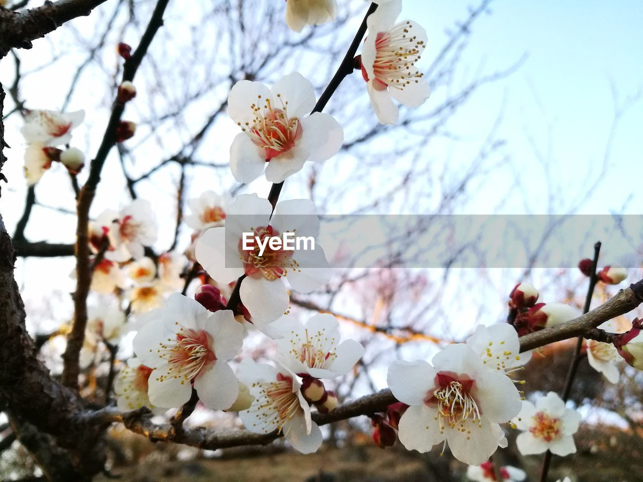 plant, flowering plant, flower, tree, branch, blossom, growth, freshness, springtime, vulnerability, fragility, beauty in nature, petal, cherry blossom, white color, close-up, nature, twig, day, cherry tree, flower head, no people, pollen, outdoors, plum blossom, spring