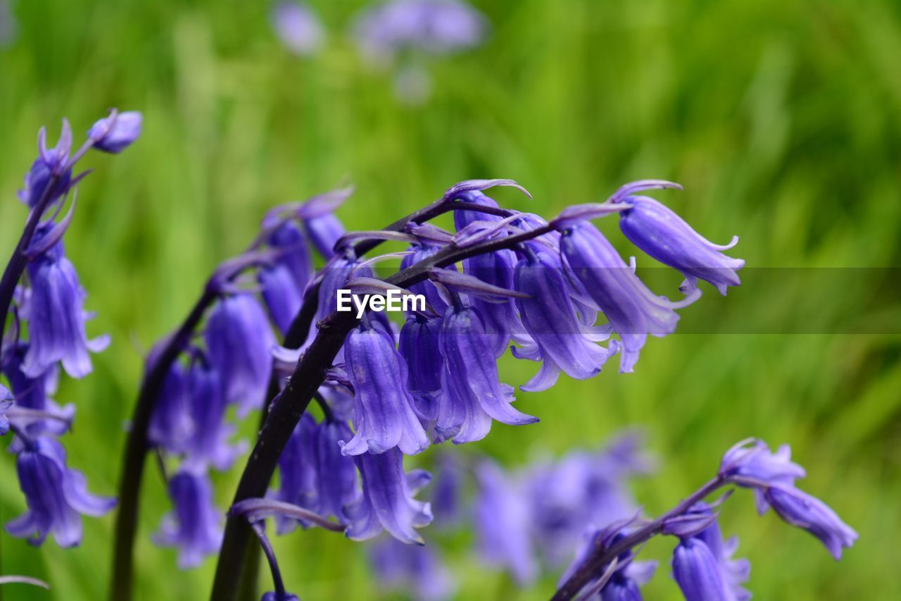 flowering plant, flower, purple, plant, beauty in nature, freshness, petal, fragility, vulnerability, growth, close-up, flower head, inflorescence, nature, focus on foreground, no people, day, botany, lavender, blue, softness