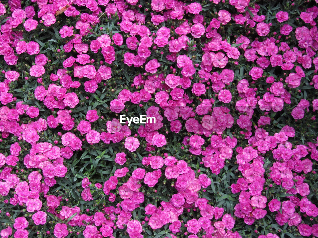 flower, flowering plant, pink color, plant, full frame, backgrounds, vulnerability, fragility, petal, beauty in nature, freshness, nature, close-up, no people, flower head, inflorescence, growth, day, outdoors, springtime, flowerbed, gardening, floral pattern