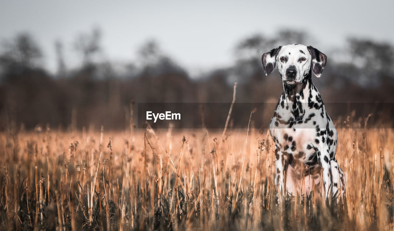 one animal, dog, animal themes, canine, mammal, pets, animal, dalmatian dog, domestic, domestic animals, field, plant, land, portrait, looking at camera, nature, focus on foreground, vertebrate, no people, day, outdoors, animal head