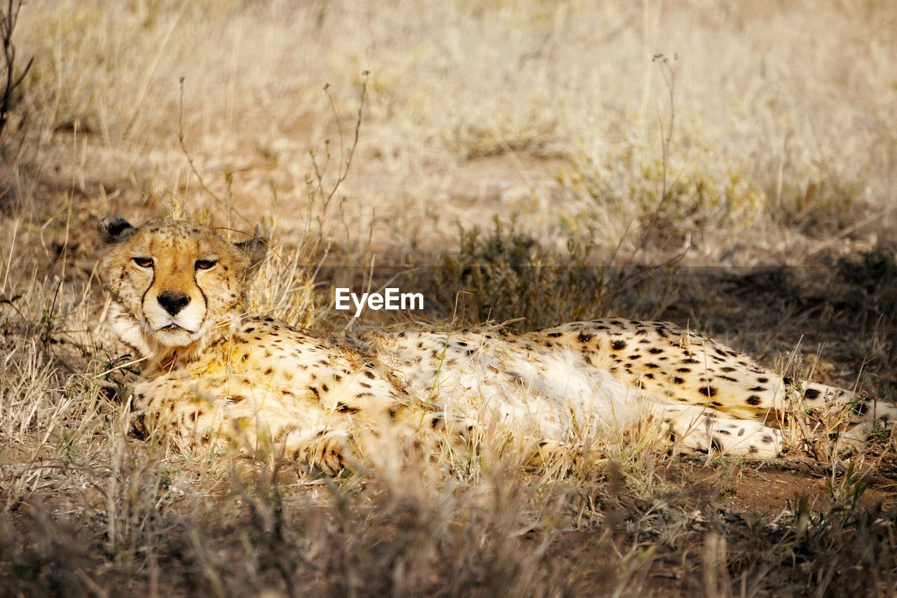 Portrait Of Cheetah Sitting On Grassy Field In Forest