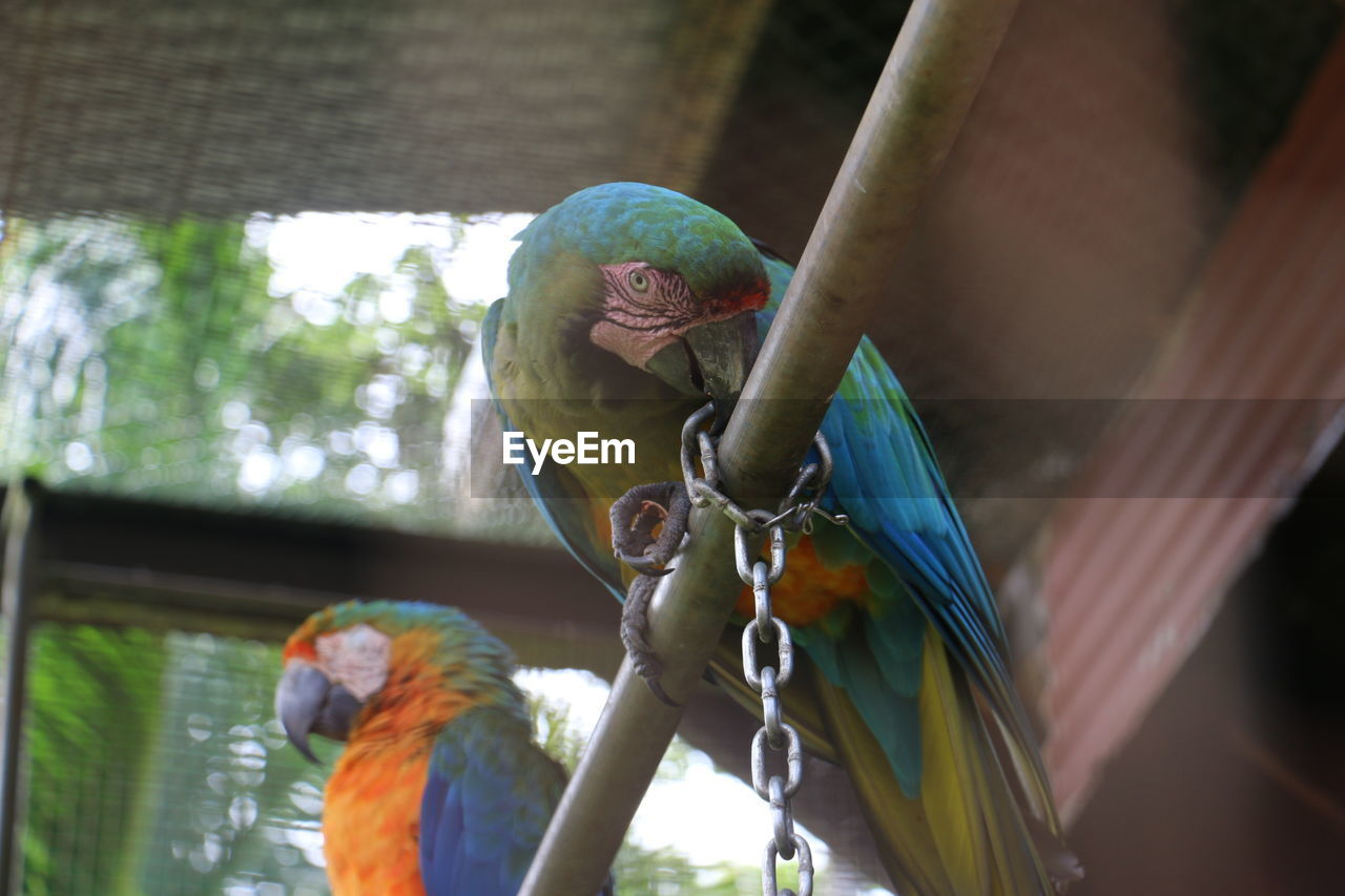 bird, parrot, animal themes, perching, animals in the wild, animal wildlife, macaw, gold and blue macaw, budgerigar, scarlet macaw, no people, low angle view, day, cage, nature, outdoors, multi colored, close-up, rainbow lorikeet, mammal