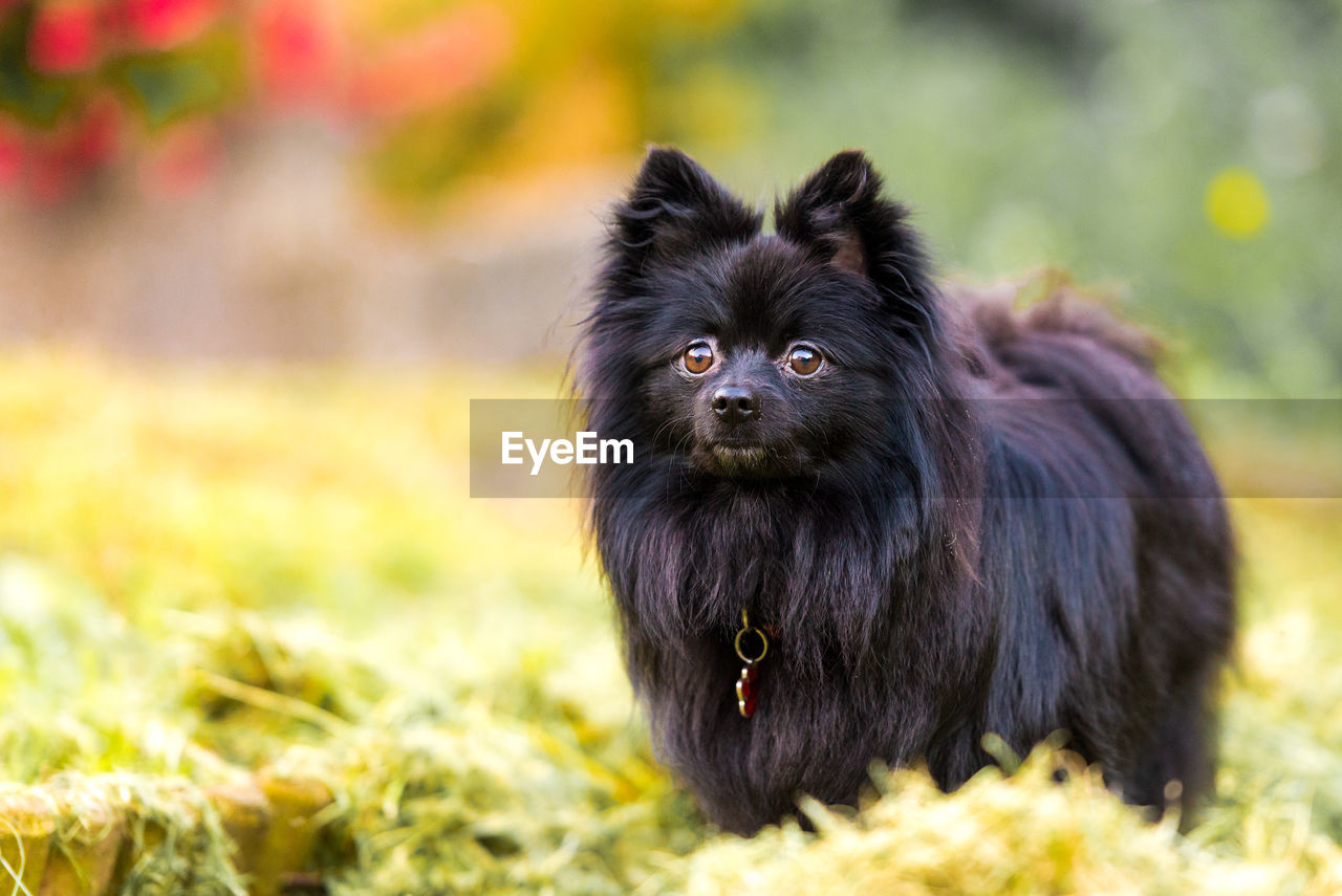 one animal, animal themes, mammal, animal, vertebrate, pets, domestic, canine, dog, domestic animals, field, black color, plant, land, day, grass, focus on foreground, no people, nature, looking away, outdoors