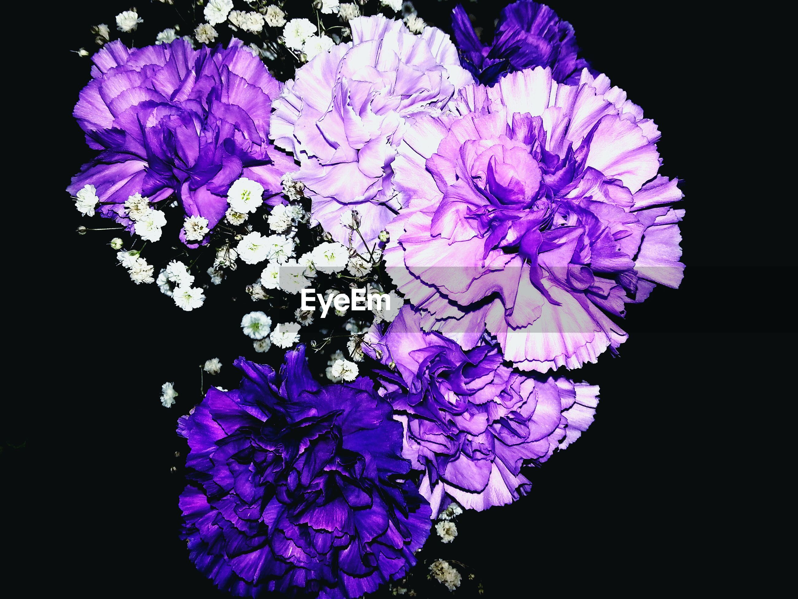 High angle view of purple flowers against black background