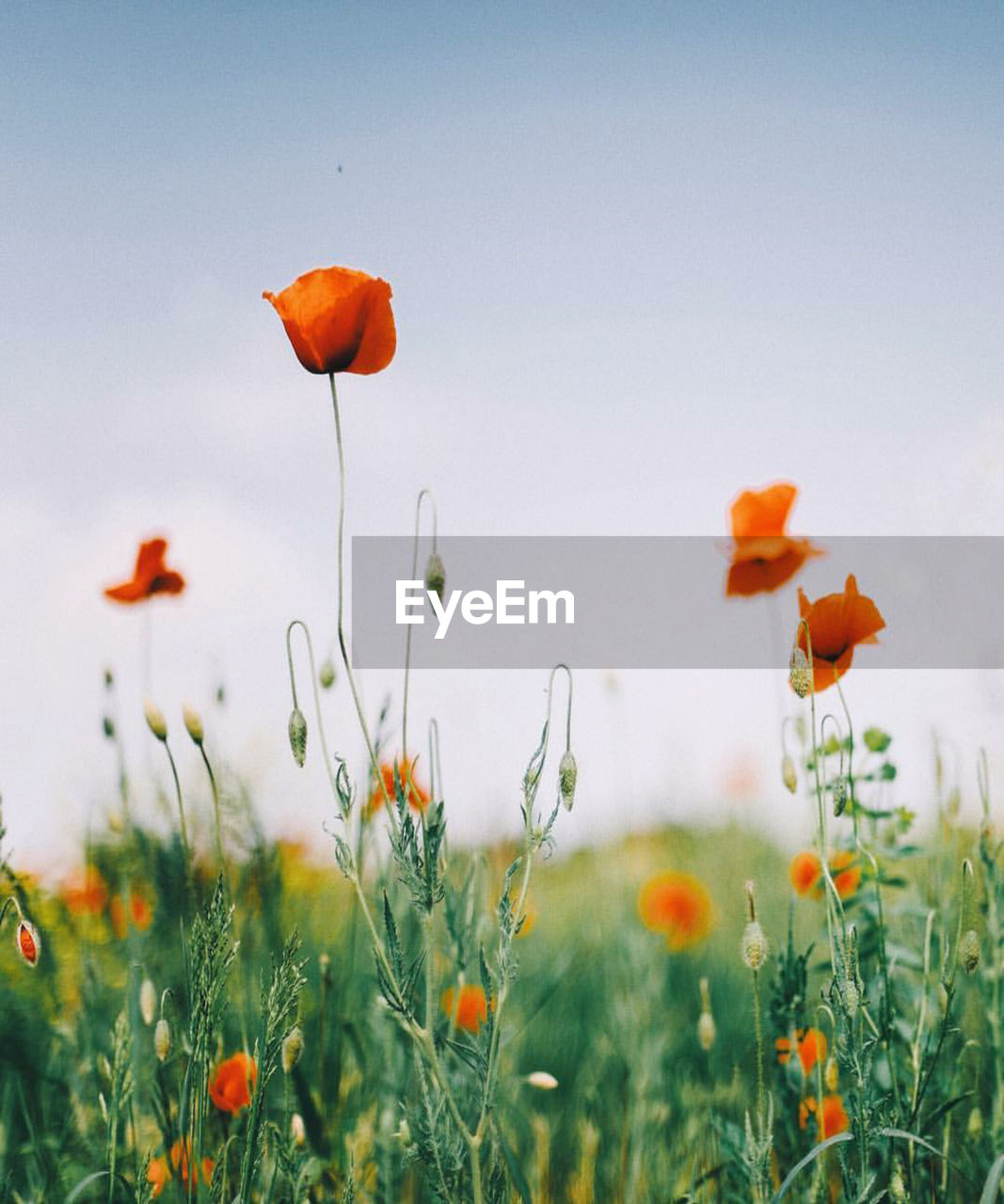 plant, flowering plant, flower, beauty in nature, fragility, growth, vulnerability, freshness, field, land, petal, sky, nature, poppy, close-up, no people, orange color, inflorescence, flower head, red, outdoors, orange