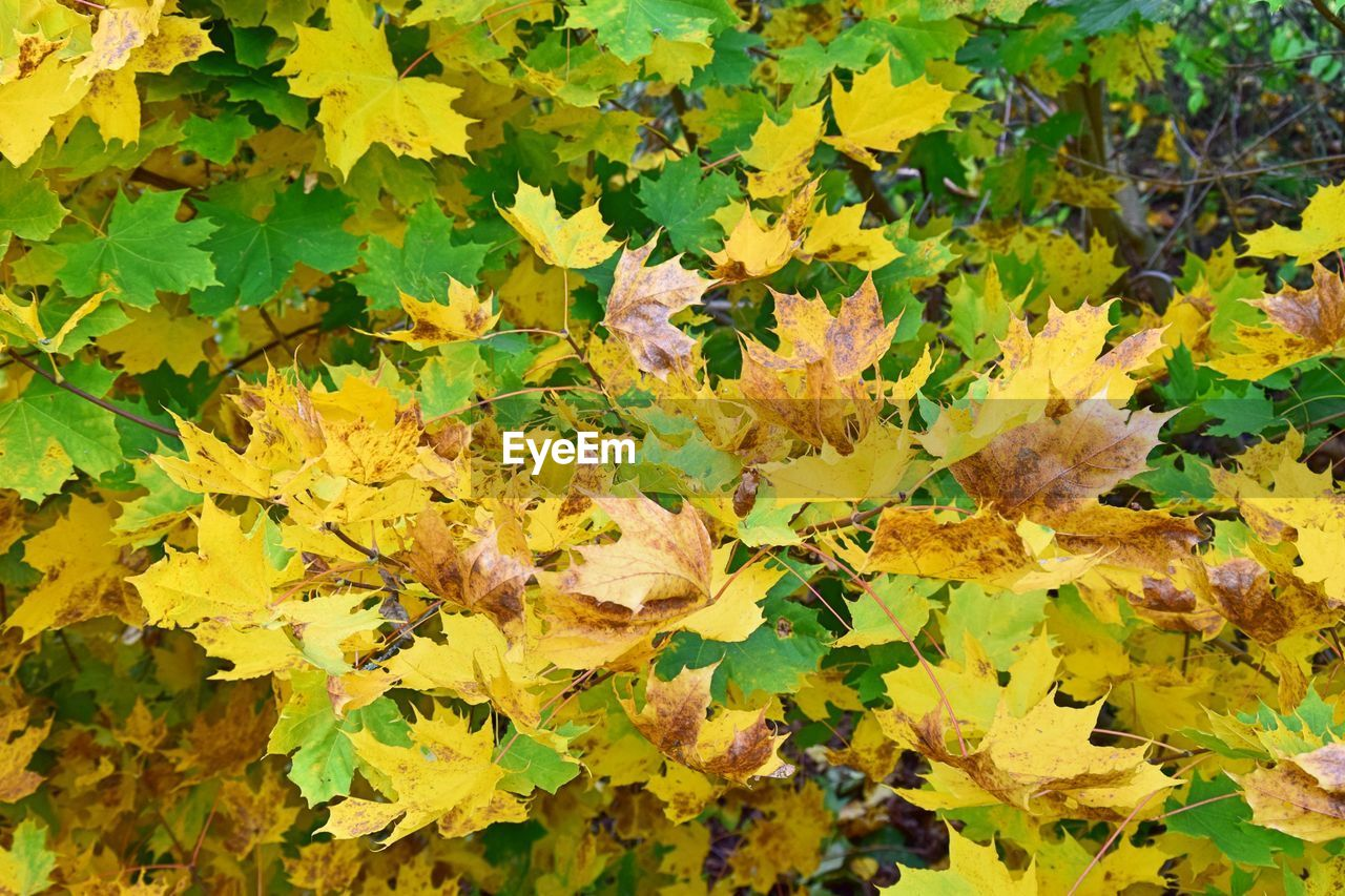 leaf, autumn, nature, change, yellow, leaves, growth, plant, no people, outdoors, day, fragility, green color, beauty in nature, close-up, maple leaf, backgrounds, flower, maple