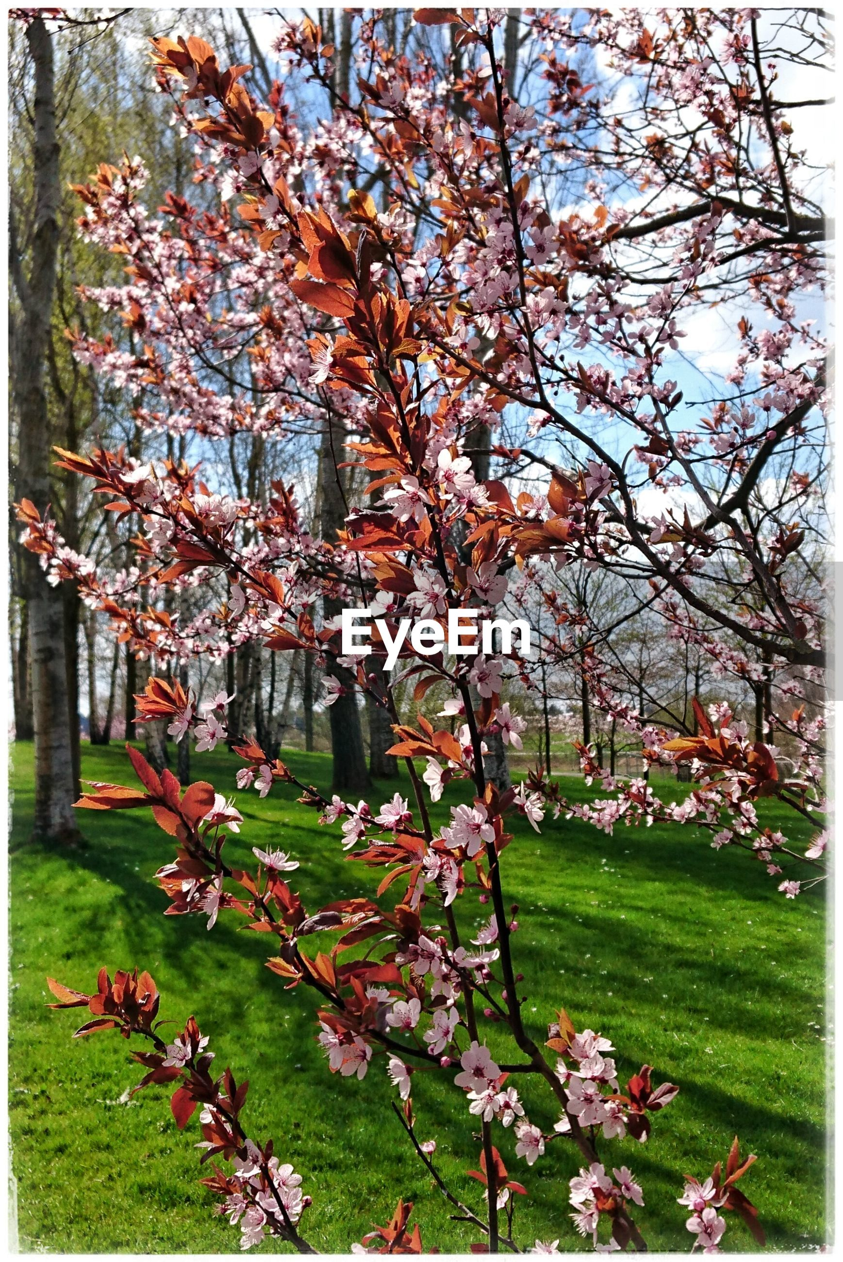 flower, tree, transfer print, growth, branch, building exterior, auto post production filter, freshness, park - man made space, grass, built structure, nature, fragility, beauty in nature, architecture, blossom, lawn, day, plant, in bloom