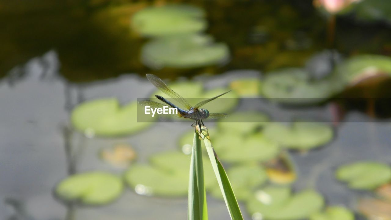 insect, one animal, animals in the wild, animal themes, close-up, focus on foreground, outdoors, nature, day, green color, no people, leaf, plant, animal wildlife, damselfly, water